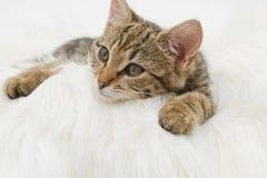 Europeisk inhemsk katt (3 gamla månader) Fotografering för Bildbyråer