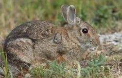 europeisk kanin Royaltyfria Foton