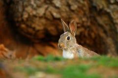 Europeisk kanin (Oryctolaguscuniculusen) Royaltyfri Fotografi