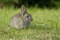 Europeisk kanin på gräsmatta arkivbild