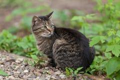 Europeisk katt Royaltyfri Fotografi