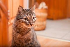 Europeisk katt med stora mörka ögon Arkivbilder