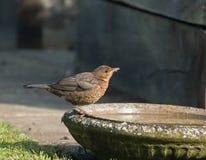 Europeisk koltrastnybörjare som dricker från fågelbad Arkivfoton