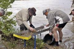 Europeisk kopp av guldgrävarna i floden. Arkivbilder