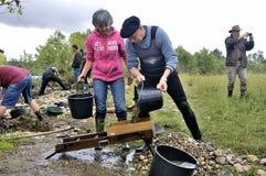 Europeisk kopp av guldgrävarna i floden. Arkivbild