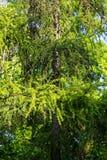 Europeisk lärk Larix decidua Fotografering för Bildbyråer