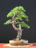 europeisk larch för bonsai Royaltyfria Foton