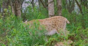 Europeisk lodjur som går i skogen en sommarafton arkivfilmer