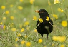 europeisk merulaturdus för blackbird arkivfoto