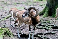 Europeisk mouflon, Ovisorientalismusimon Djurlivdjur royaltyfria bilder