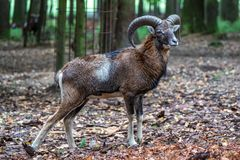 Europeisk mouflon, Ovisorientalismusimon Djurlivdjur royaltyfri bild