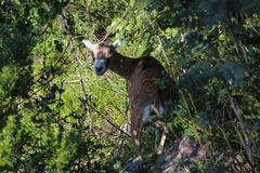 Europeisk mouflonkvinnlig mellan träd Royaltyfria Foton