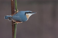 europeisk nuthatch Royaltyfria Bilder