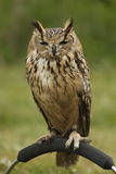 europeisk owl Royaltyfria Bilder