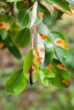 Europeisk päronrost är en gemensam svamp- sjukdom av päron royaltyfria foton