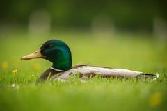 Europeisk and på ett gräs Arkivfoton