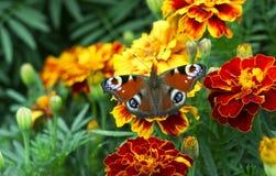 Europeisk påfågelAglais io fjäril på den Tagetes blomman royaltyfria bilder