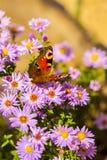 Europeisk påfågelfjäril, inachis io, i purpurfärgad äng för lös blomma arkivfoto