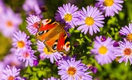 Europeisk påfågelfjäril, inachis io, i purpurfärgad äng för lös blomma arkivfoton