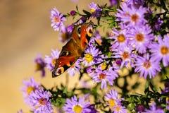 Europeisk påfågelfjäril, inachis io, i purpurfärgad äng för lös blomma arkivbild