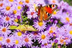 Europeisk påfågelfjäril, inachis io, i purpurfärgad äng för lös blomma royaltyfri foto