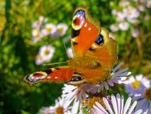 Europeisk påfågelfjäril på blommor för Michaelmas tusensköna arkivfoton