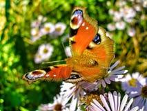 Europeisk påfågelfjäril på blommor för Michaelmas tusensköna royaltyfri foto