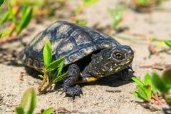 Europeisk pundsköldpadda Arkivbilder