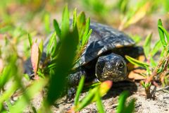 Europeisk pundsköldpadda Royaltyfria Foton
