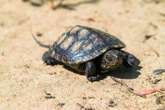 Europeisk pundsköldpadda Fotografering för Bildbyråer