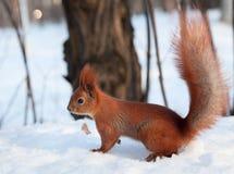Europeisk röd ekorre på insnöat skogen Royaltyfri Bild