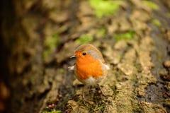 Europeisk rödhake Fotografering för Bildbyråer