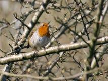 Europeisk rödhake, Erithacus Rubecula, - Robin Redbreast i vårsolsken royaltyfri fotografi