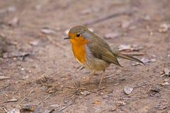 Europeisk rödhake & x28; Erithacusrubecula& x29; , fågel Fotografering för Bildbyråer