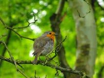 europeisk robin Royaltyfri Foto