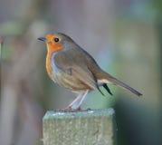 europeisk robin Royaltyfri Fotografi
