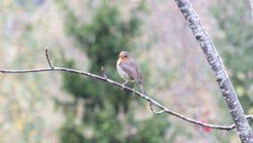 europeisk robin Royaltyfria Bilder