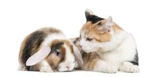 Europeisk shorthair och beskär kanin som isoleras Arkivbild