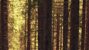 Europeisk skog för granträd i sommar stock video