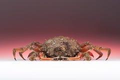 Europeisk spindelkrabba, rosa färg, apelsin som isoleras, skaldjur, shellf Royaltyfri Foto