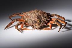 Europeisk spindelkrabba, skaldjur, skaldjur, apelsin, rött som isoleras Royaltyfri Bild