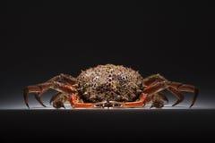 Europeisk spindelkrabba, skaldjur, skaldjur, skaldjur, kopieringsutrymme Fotografering för Bildbyråer