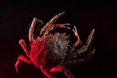 Europeisk spindelkrabba, skaldjur, skaldjur, skaldjur som är gles, bl Arkivfoto