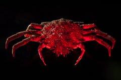 Europeisk spindelkrabba, skaldjur, skaldjur, skaldjur som isoleras, Royaltyfri Fotografi
