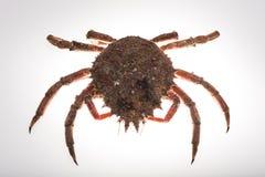 Europeisk spindelkrabba, skaldjur, skaldjur, skaldjur som isoleras, Arkivfoton