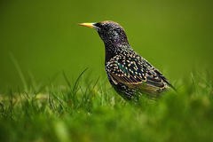 Europeisk stare, vulgaris Sturnus, mörk fågel i härlig fjäderdräkt som går i grönt gräs, djur i naturlivsmiljön, vår, Royaltyfria Bilder