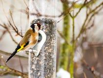 Europeisk steglits på en fågelförlagematare Arkivbild