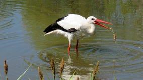 Europeisk stork som fångar grodan Arkivbild