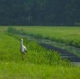Europeisk stork som promenerar en kanal, Haag, Nederländerna Arkivbilder