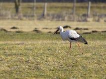 europeisk storkwhite Royaltyfri Bild